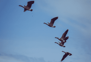 Silly Goose in formation