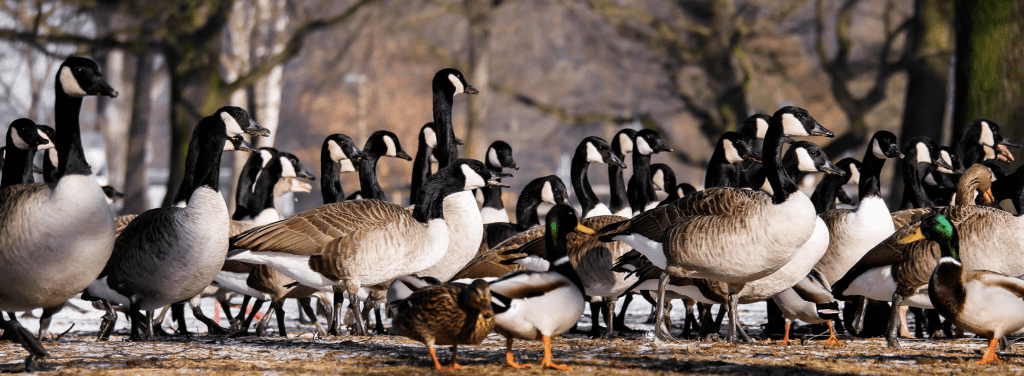 Lessons from Geese Community