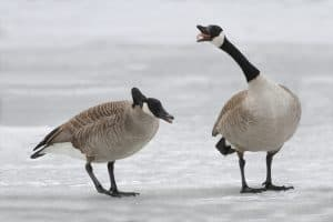 Canadian Geese facts Silly Goose